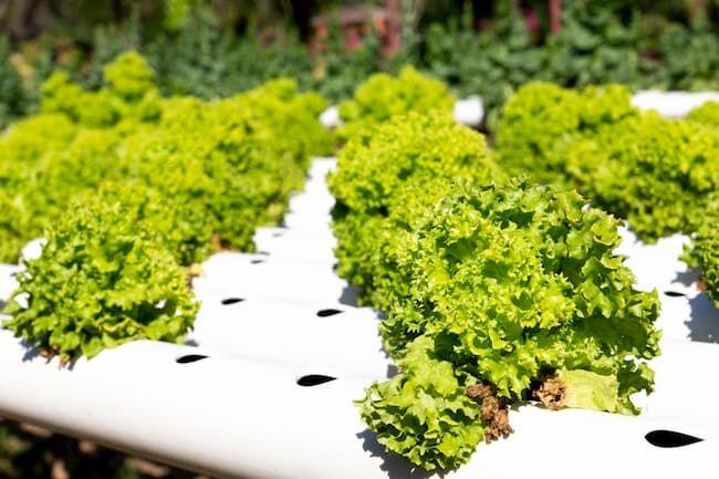グリーンリーフレタス 養液栽培