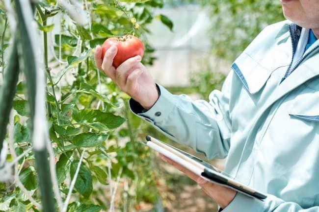 トマト 施設栽培