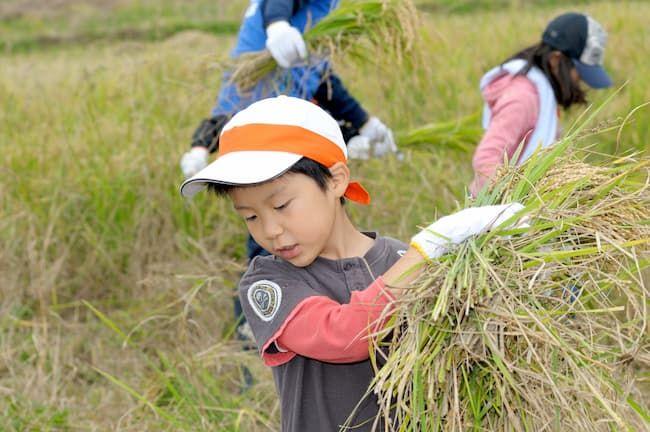 小学生 稲刈り体験