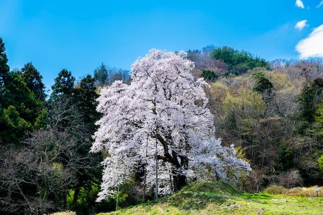 福島県川俣町 秋山の駒ザクラ