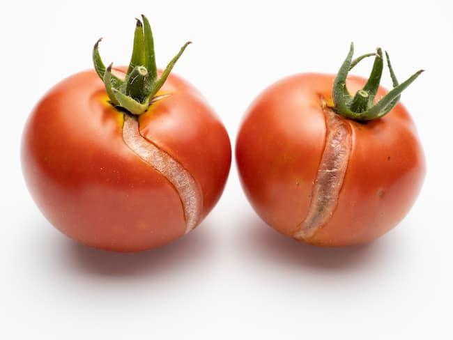 売り物にならないミニトマト
