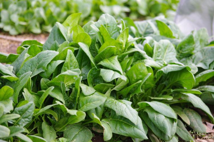 ほうれん草の施肥量の基準とは? 設計方法と品質を上げる栽培のコツ