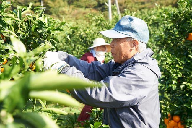 みかん農家 みかんの収穫