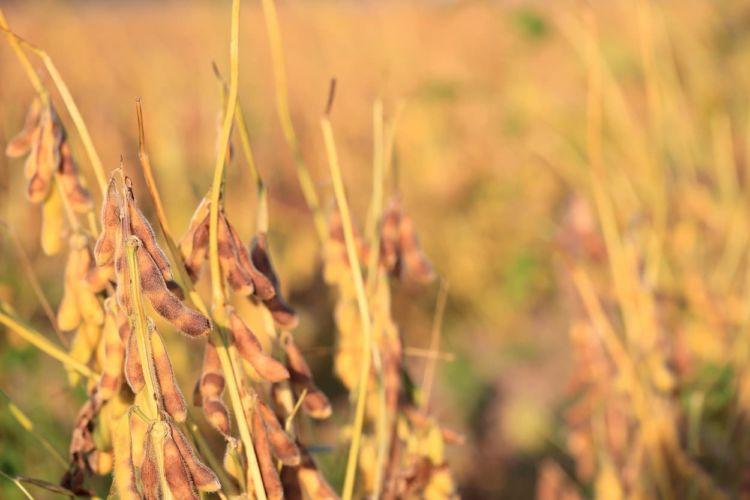 大豆の最適な収穫時期や目安は? さらに収量をアップさせる新技術も紹介!