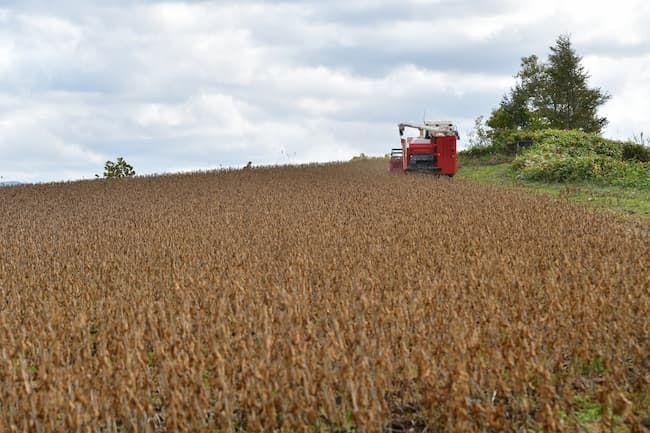 大豆畑 収穫