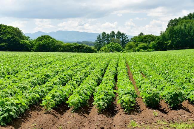 大豆畑 大豆栽培