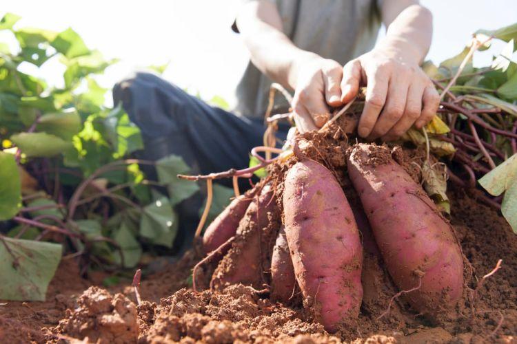 サツマイモ(甘藷)生産量の都道府県ランキング! 収量アップ&省力化のコツとは