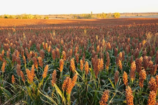 米国カンザス州のソルガムきび畑
