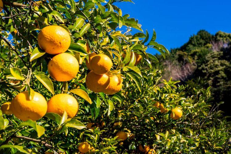 【みかん栽培】糖度の高い品種ランキング!事例で学ぶ食味向上のコツ