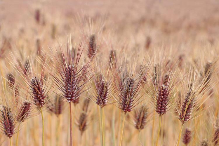 もち麦栽培のポイントは? 高収益作物として注目!