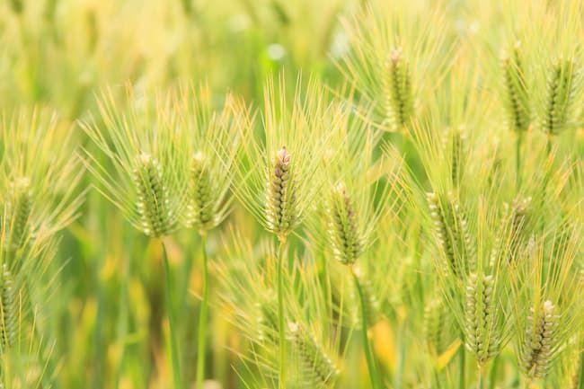 もち麦の実り