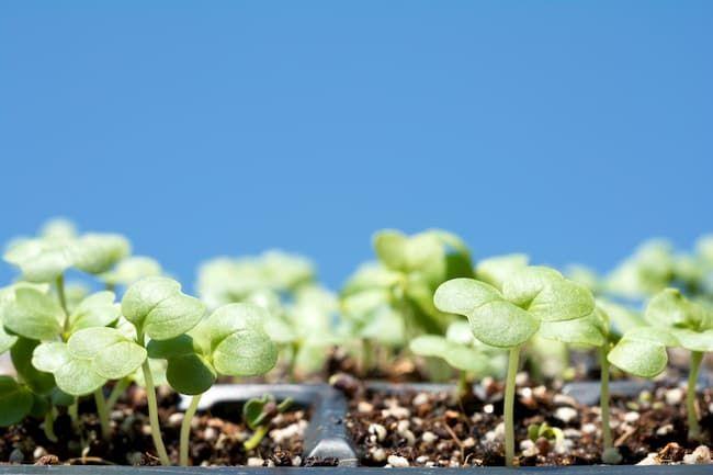 白菜 発芽 育苗トレイ