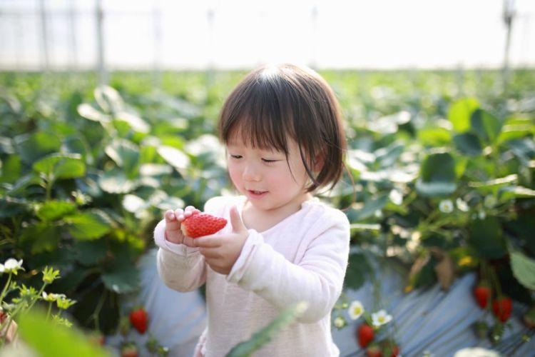 イチゴ栽培におすすめの殺ダニ剤は?ハダニ類防除の効率的な散布方法