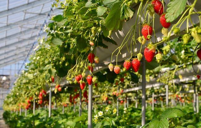 イチゴ ハウス栽培 高設栽培