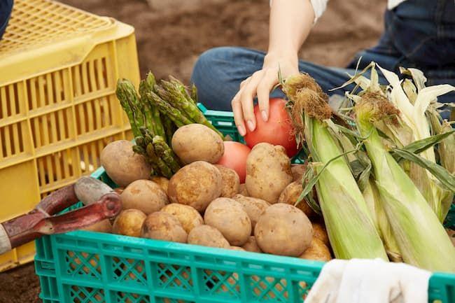畑で収穫された野菜