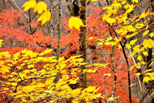 徳島県上勝町周辺の山林には「葉っぱ」(つまもの)となる植物が豊富にある