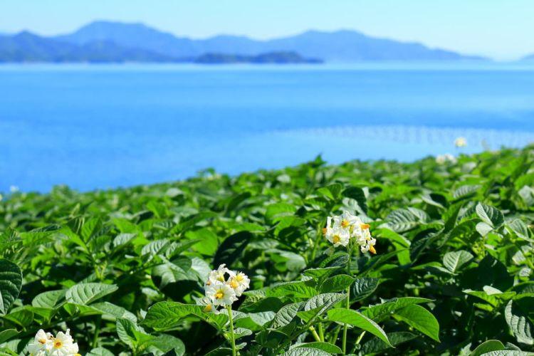 春ジャガイモの大規模栽培方法! 輪作体系や連作に強い品種は?