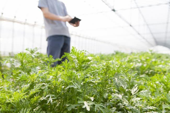 春菊はハクサイダニの被害が発生する作物の1つ