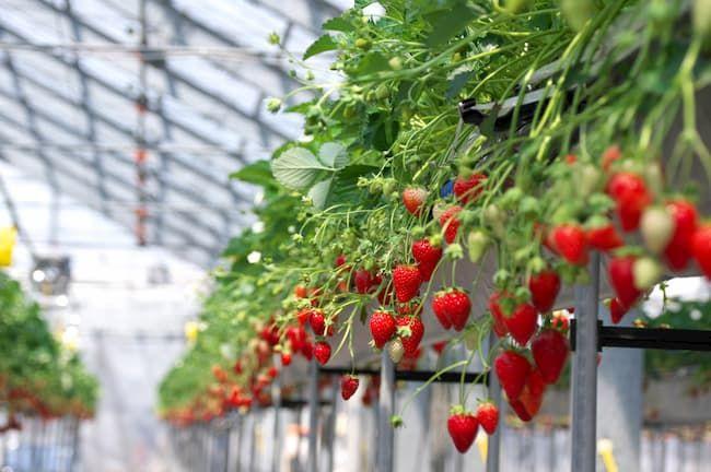 イチゴ かおり野 高設栽培
