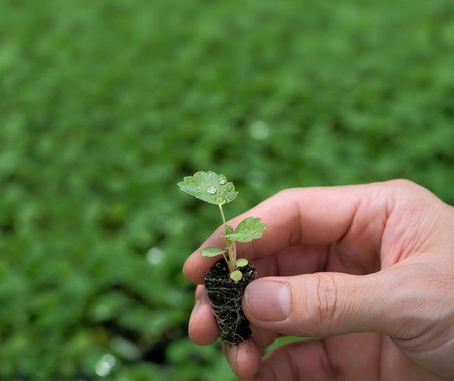 ミヨシグループ F1種子イチゴ 販売苗(406トレイサイズ)