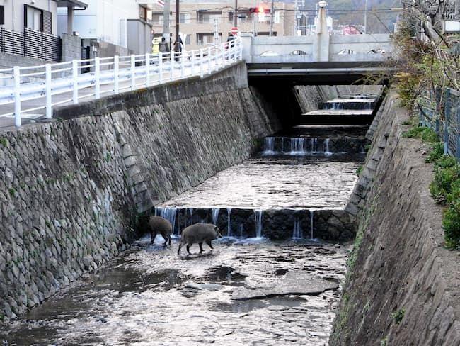 河川域周辺は人にも会わず、交通事故の危険性もないので、イノシシにとっては最適な移動空間