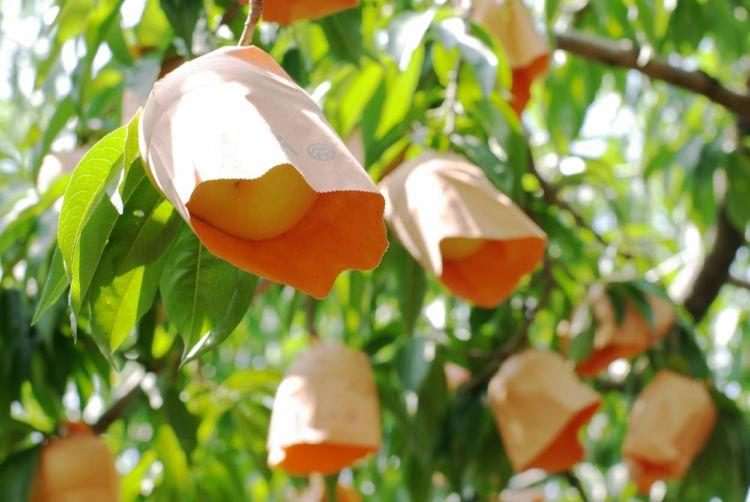 桃の収穫量日本一の都道府県は?産地から学ぶ、収量を確保するための生産技術