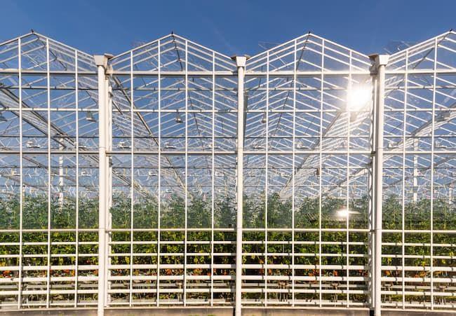 オランダ マースダイク地域 トマトの大規模施設栽培