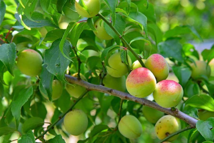 梅の肥料はいつ与える?質の高い梅の栽培方法【施肥時期&やり方解説】