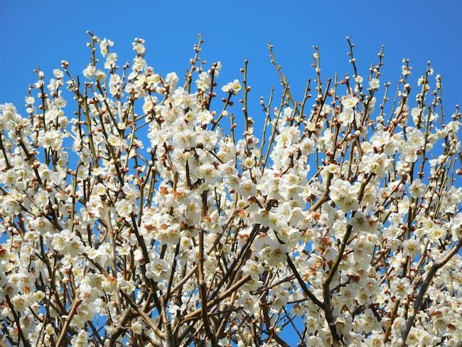 梅の品種「白加賀(しろかが・しらかが)」の花