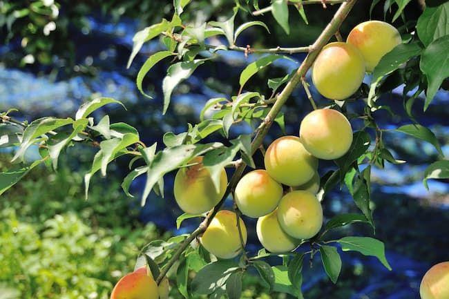 日本で最も多く栽培されている梅の品種「南高(なんこう)」の果実