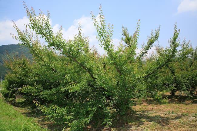 和歌山県の梅のほ場
