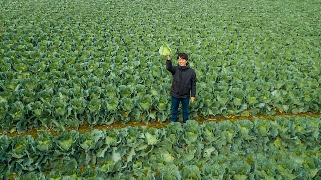 実家のキャベツ栽培の修行から就農をスタート