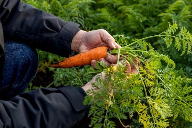 ターボファームでは試験栽培を経て、6次産業化を前提ににんじん2品種に絞り込んだ