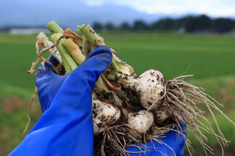 農業用の作業手袋の選び方とお手入れ方法を紹介