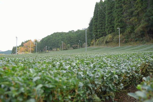 茶工場のすぐ近くに深緑茶房の茶畑がある