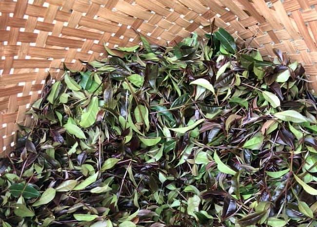 アントシアニンを含む赤い日本茶品種「サンルージュ」の栽培に2016年に挑戦