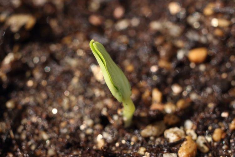 きゅうりの播種(種まき)時期を見極める! 長期間収穫を狙うコツとは