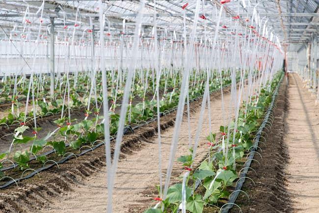 ハウス栽培のきゅうり 定植後の誘引