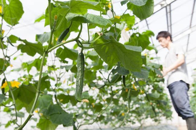 ハウス栽培のきゅうり 収穫期