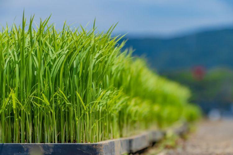 水稲育苗マニュアル完全版! 省力化を実現する新しい栽培技術とは?