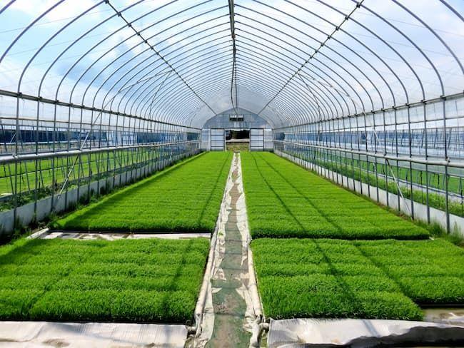 ビニールハウスでの水稲育苗