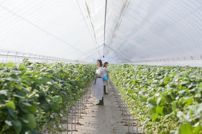 シルバータイプの遮光カーテンを張ったイチゴ栽培ビニールハウス