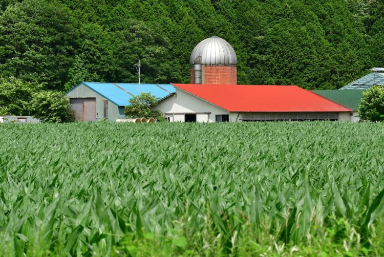 【飼料用とうもろこし】播種の効率化が肝!失敗しない大規模栽培方法