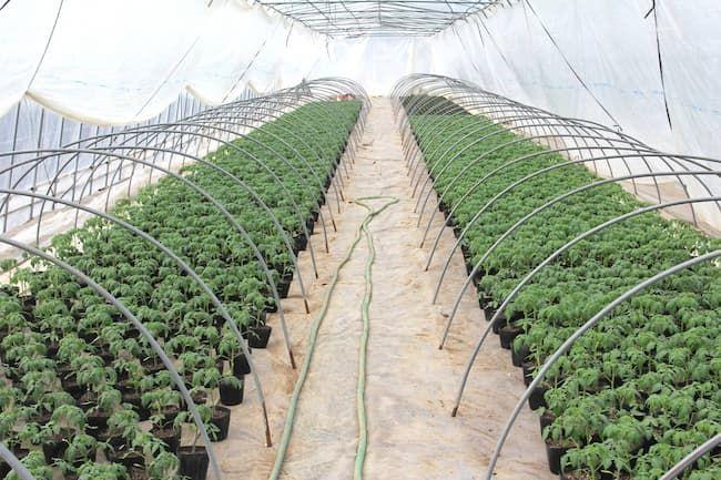 トマトの二次育苗