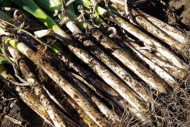 健全に生育した長ネギの根