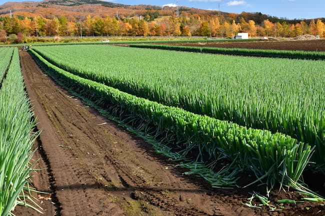 長ネギの大規模栽培 収穫作業
