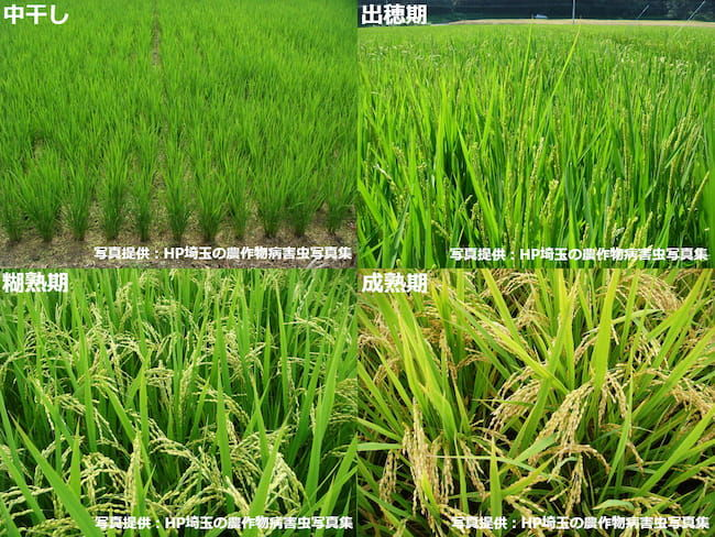 水稲の生育ステージ