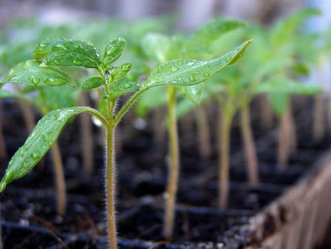 トマトに適した発芽温度は?発芽率を上げるコツと上手な栽培管理方法