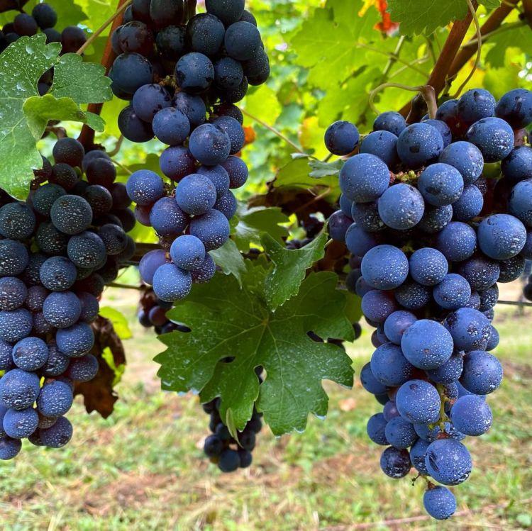 ICTを導入した効率的な醸造用ブドウの栽培|微生物の力を活かす奥野田ワイナリーの高品質なワイン