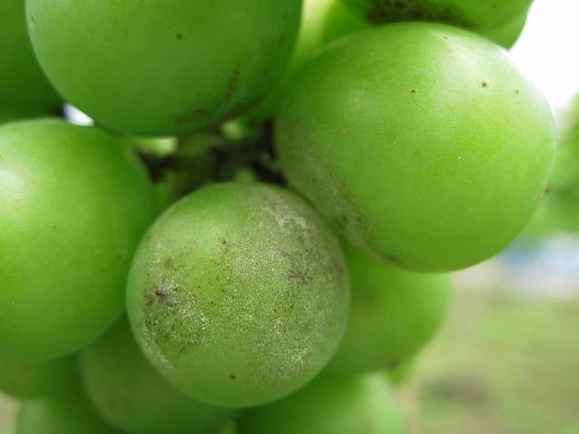 ブドウ うどんこ病の被害果